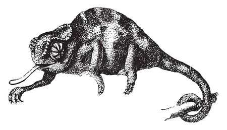 Chameleon clinging to the branches by their feet and prehensile tails, vintage line drawing or engraving illustration.