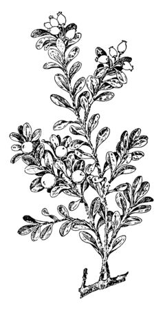 It is a fruit species, leaves are small and alternate arranged on stem. The oval type leaves and fruit is small, vintage line drawing or engraving illustration.