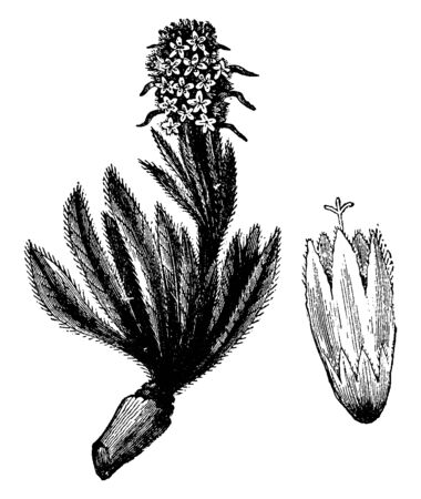 Campanula Thyrsoidea has a narrow and hairy leaves. It has simple stem and yellow flowers with a greenish tint, vintage line drawing or engraving illustration.