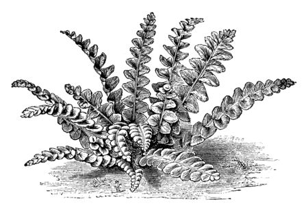 A picture showing Asplenium Ceterach. Scale or scaly fern is the common name for Asplenium Ceterach. This fern is found in Britain, Europe and northern Asia, vintage line drawing or engraving illustration. Ilustrace