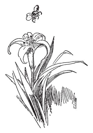 This is an image of Lily flowering plant. Lily flowers are valued for their large, very showy, and often fragrant flowers, vintage line drawing or engraving illustration.
