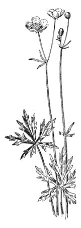 Tall buttercup is a perennial. A tall, erect, hairy, branching plant with glossy yellow flowers, vintage line drawing or engraving illustration.