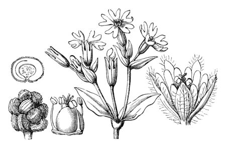 The picture of the Red Campion was once known as Lychnis diurna and is a herbaceous flowering plant in the family Caryophyllaceae, vintage line drawing or engraving illustration.