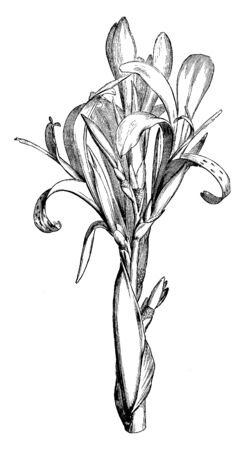 Canna Speciosa is types of the Canna class, has a place with the family Cannaceae, a local of the South America. It is a perpetual developing to 2m, vintage line drawing or engraving illustration.