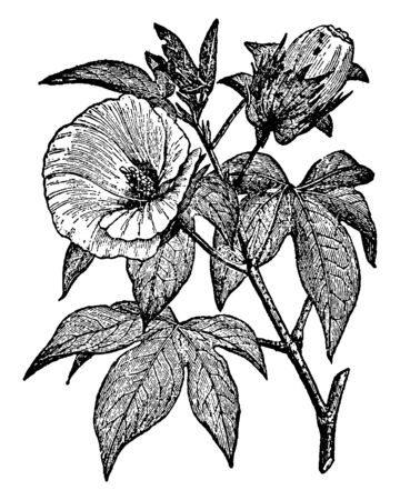 Cotton is a staple fiber that grows around cotton plant seeds, is a native herd for tropical and subtropical areas around the world, vintage line drawing or engraving illustration.