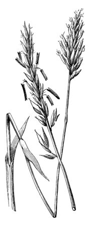 A picture of Anthoxanthum Odoratum Grass. It is an attractive grass but seed is a little expensive so it is usually included at a low percentage in seed mixtures & also called as Spring Grass, vintage line drawing or engraving illustration.