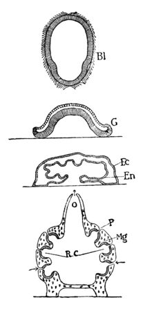 Oscarella Lobularis which is free swimming blastula with flagella, vintage line drawing or engraving illustration.