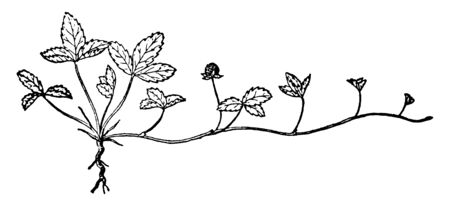 Mock Strawberry (Duchesnea indica) is an herbaceous perennial plant. The flowers have five petals and bright yellow in color. The berries are more rounds with hard little seeds, vintage line drawing or engraving illustration.
