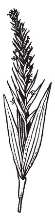 Habenaria commonly called bog orchids, are a far ranging genus of orchids in the subtribe Orchidinae. There are approximately 800-1000 species of Habenaria, native to every continent except Antarctica, vintage line drawing or engraving illustration.