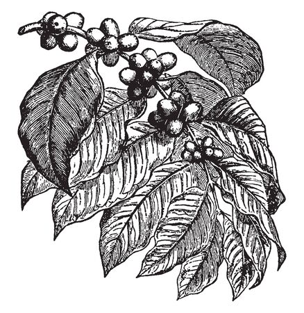 A picture showing a coffee plant. This is from Rubiaceae family. The fruit is round and red. Leaves are broad and simple, vintage line drawing or engraving illustration. Illustration