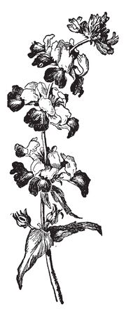 Collinsia is a U.S. annual herb. It has irregular whorled flowers, vintage line drawing or engraving illustration.