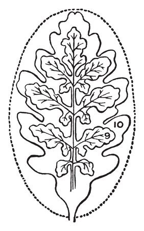 A picture showing two types of simple leaves derived from the elliptical type. One is pinnately lobed and other is pinnately divided, vintage line drawing or engraving illustration.