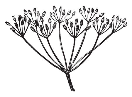 Caraway is a biennial usually white-flowered aromatic Old World herb of the carrot family, vintage line drawing or engraving illustration.