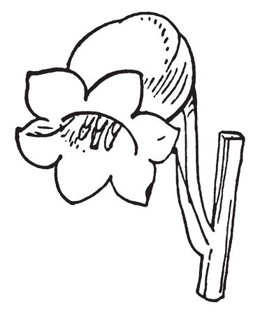 The flowers have six white petals, and flowers are bell shaped, vintage line drawing or engraving illustration. Ilustração