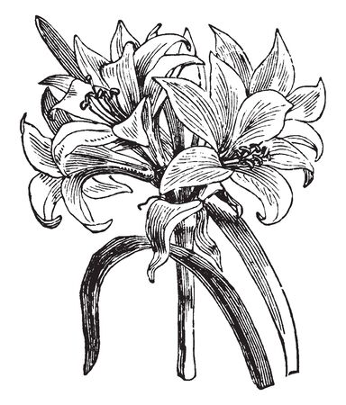 The flowers inflorescence in funnel shaped, it blooming in cluster, vintage line drawing or engraving illustration.