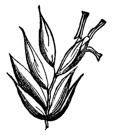 The picture part of sheeps fescue grass, there is upper part some seed and upper side bud of seed, vintage line drawing or engraving illustration. Illusztráció