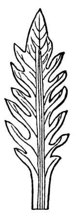 This image shows pinnatifid leaf. This leaves with pinnate lobes that are not discrete, remaining sufficiently connected to each other that they are not separate leaflets, vintage line drawing or engraving illustration.