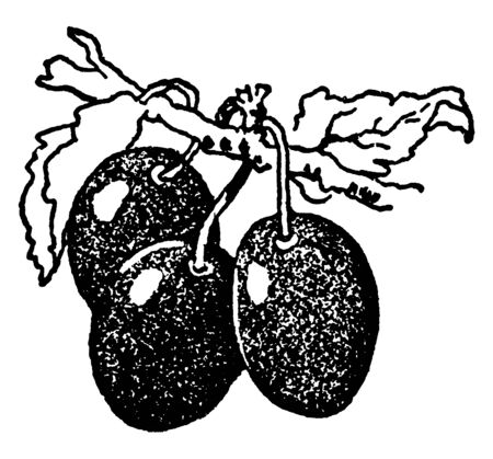A picture showing branch of Plum tree with its three fruits, vintage line drawing or engraving illustration. Illustration