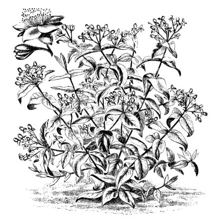 It is a picture of Habit and Detached Flower of Hypericum Androsaemum which is known as sweet-amber or tutsan, mostly found in Eurasia, vintage line drawing or engraving illustration. Stockfoto - 132881300