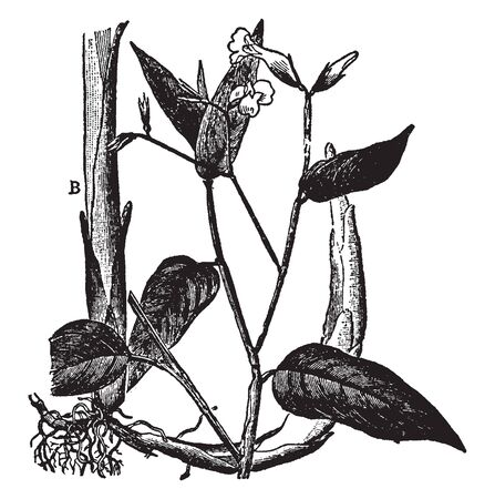 A picture shows Arrowroot Plant. It is a large, perennial herb found in rainforest habitats. Arrowroot flour is now produced commercially mostly in St. Vincent and the Grenadines, vintage line drawing or engraving illustration.