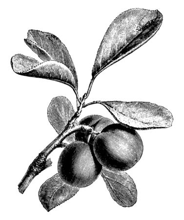 A picture showing branch of Plum tree with its fruit, vintage line drawing or engraving illustration.