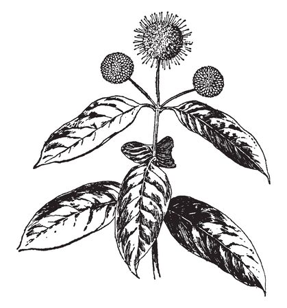 Cephalanthus Occidentalis is woody shrub. The tiny flowers are creamy white, vintage line drawing or engraving illustration.