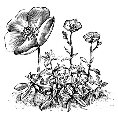 Calandrinia Menziesii is a flowering plant with deep purple-crimson flowers. It has five deep pink to red petals, vintage line drawing or engraving illustration. 向量圖像