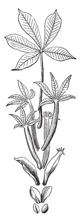 This is an image of Low Sweet Buckeye and it is deciduous plant. It has compound leaves and flowers have fused petals, vintage line drawing or engraving illustration. Ilustração