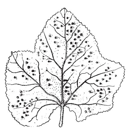 This picture is showing Hollyhock leaf with rust broad leaf, vintage line drawing or engraving illustration.