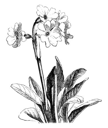 This is an image of Primula flowering plant. In this picture the plant is cut in the middle of the stem, vintage line drawing or engraving illustration.