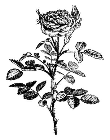 This is an image is of Rosa Centifolia Pomponia plant. His stem, branches and leaves are thorny and flowers are rose-purple with ovate, serrated leaves, vintage line drawing or engraving illustration.
