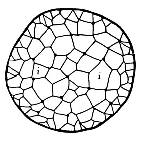 A diagram of cross section of Juncus Stem which is shows the black lines traversing the section are really chains of cells, vintage line drawing or engraving illustration.
