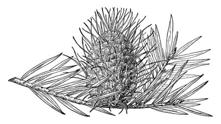 A picture of pine cone of Silver Fir which is also known as Albies Alba, vintage line drawing or engraving illustration.