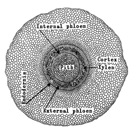 This is a diagram of Pedaium Stem which is showing transverse section of stem, vintage line drawing or engraving illustration.