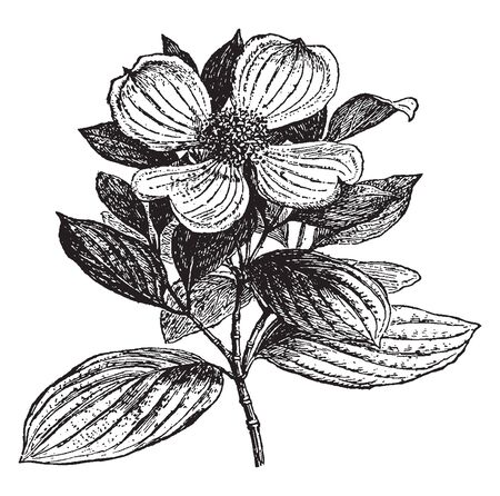 A picture, thats showing Dogwood. This is a woody plant, in the Cornaceae family. Flowers have four parts and white petal, vintage line drawing or engraving illustration.