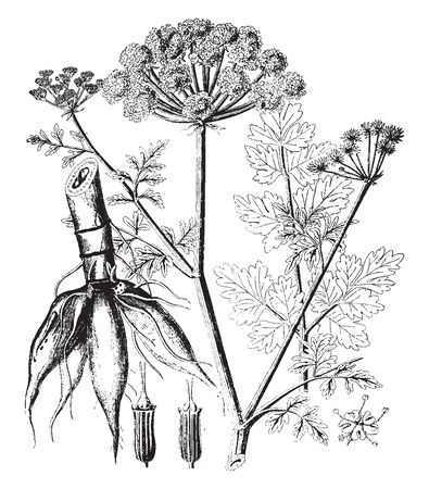 Most poisonous indigenous plant in Britain. It is a member of the Umbellifer family and is found in ditches, damp meadows, in steams, by riverbanks, and in marshes, vintage line drawing or engraving i 일러스트
