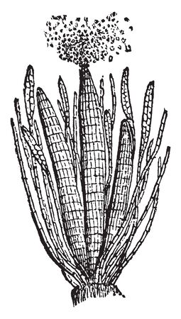 This is a picture of Antheridia and it is reproductive organ of a flowering plant, vintage line drawing or engraving illustration.