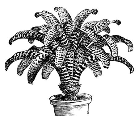 Picture shows the Vriesia Hieroglyphica plant. A plant develops many leaves and is long in nature. Flowers grow on a tall branched spike, vintage line drawing or engraving illustration.