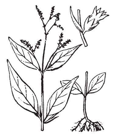 The genus Cynoctonum is in the family Apocynaceae in the major group Angiosperms. It is divided in parts as shown in picture as, Root of the plant and flower, vintage line drawing or engraving illustration. Illusztráció