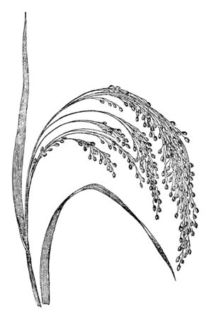 This crop is very thin and short, it bends at medium stem, and there is more grain but not in tuft, vintage line drawing or engraving illustration.