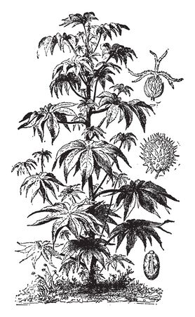 The castor oil plant is native to Africa. The young plants grow quite quickly and it is also perennial plant, vintage line drawing or engraving illustration.