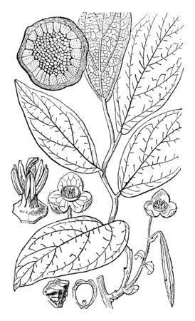 The ovate shaped leaves are alternate on stem vine. In this picture are 1.seed 2.flowers structure 3.wood sections 4.anther 5.stigma, vintage line drawing or engraving illustration. Illustration