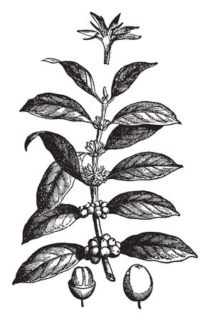 The coffee plant is native to subtropical Africa and southern Asia, it is a shrub or small tree from which Coffee seeds are grown, vintage line drawing or engraving illustration.