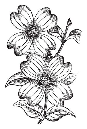 In this picture there are some leaves around the two flowers that exhibit the characteristic of that flower, vintage line drawing or engraving illustration.