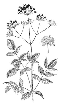 Bristly Sarsaparilla is flowering plant and is a perennial that blooms in June and July, vintage line drawing or engraving illustration.  イラスト・ベクター素材