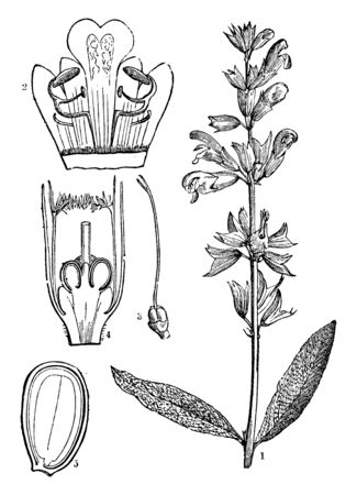 A picture describing the various parts of Common Sage or Salva officinalis. Such as its corolla opens, the pistil and the lower part of the flower open and the perpendicular section of a walnut, vintage line drawing or engraving illustration.