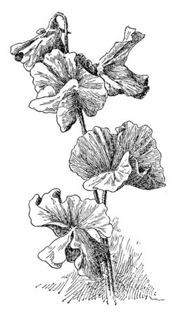 It is a climbing plant, growing to a height of 1-2 meters. The leaves are pinnate with two leaflets and a terminal tendril, which twines around supporting plants, helping the sweet pea to climb, vintage line drawing or engraving illustration. Illustration