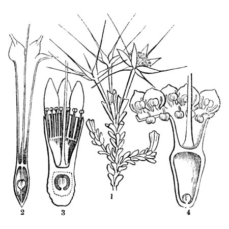 A picture showing the starflower or Calytrix and different sections of its flower, vintage line drawing or engraving illustration.