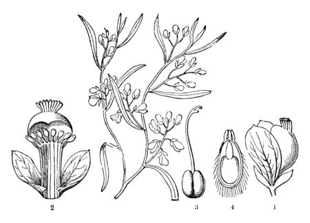 It shows different stages of flowers like stamens; part of a ready seed; in the middle is the living things in the early stages (before birth); at the top part shows the true base as Caruncula, vintage line drawing or engraving illustration.