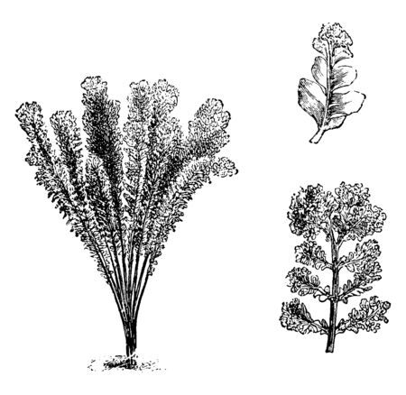 This is Nephrodium Molle Corymb Iferum plants. It looks like a broom or fountain and it has multi-lobe leaf. The top of each branch has a large crest, vintage line drawing or engraving illustration. Illusztráció